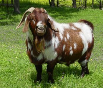 Image CandE Boer Goats