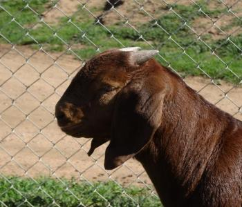 Image STAGE STOP BOER GOATS