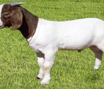 Image Rocken 3E Boer Goats