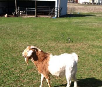 Image W&W Goats