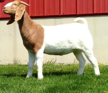 Image North Family Boer Goats